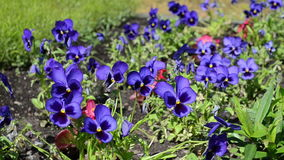 Viola pansy flower bloom stock video footage