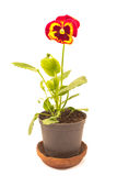 Viola pansy flower isolated Royalty Free Stock Images