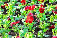 Flower Pansy red. Royalty Free Stock Photos
