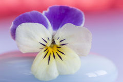Viola, Pansy violet Stock Photos