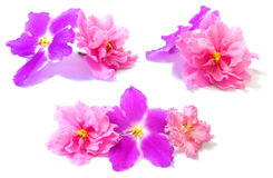 Viola perspective, fresh delicate flowers and petals, isolated o. N scrapbook background Royalty Free Stock Image