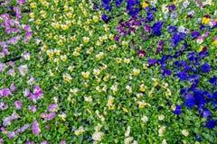 Viola pflanzt das Blühen in Garten-Center De Bosrand Stockbild