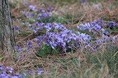 Viola philippica Stock Photo