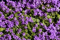 Viola (planta) imagen de archivo
