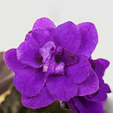 Viola porpora del fiore Immagine Stock Libera da Diritti
