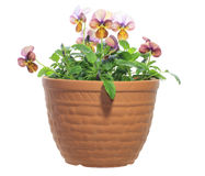 Viola in the pot Royalty Free Stock Photos