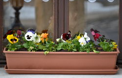 Viola in pot on a window Royalty Free Stock Image