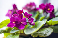 Viola purple flowers Stock Images