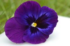 Viola purple macro Stock Images