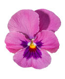 Viola purple Pansy Flower Isolated on White Royalty Free Stock Photo