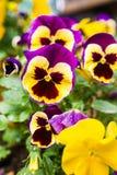 Viola. Purple and yellow garden  viola Royalty Free Stock Image