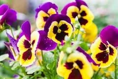 Viola. Purple and yellow garden  viola Stock Photography