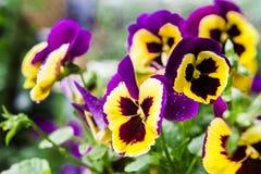 Viola. Purple and yellow garden  viola Royalty Free Stock Photography