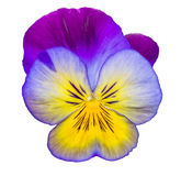 Viola purple and yellow Pansy Flower Isolated on White Backgroun Stock Photos