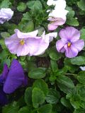 Viola after rain. Flower summer blue summertime flowers rain Stock Photos
