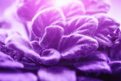 Viola saintpaulias leaves or African Violets, macro shot, ultraviolet toned for bright trendy spring design stock images