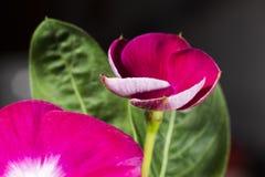 Viola scura Fiori e parchi pubblici fotografia stock