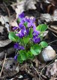 Viola selvaggia. Fotografia Stock