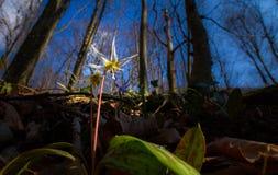 Viola selvatica dell'erba canina nella foresta in primavera Fotografie Stock Libere da Diritti