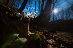 Viola selvatica dell'erba canina nella foresta in primavera Immagini Stock Libere da Diritti