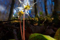 Viola selvatica dell'erba canina nella foresta in primavera Fotografia Stock Libera da Diritti