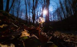 Viola selvatica dell'erba canina nella foresta in primavera Fotografie Stock
