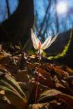 Viola selvatica dell'erba canina nella foresta in primavera Immagini Stock