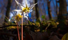 Viola selvatica dell'erba canina nella foresta in primavera Fotografia Stock