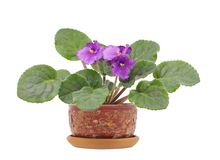 Viola Silent Prayer in pot on white. Blooming senpolia Silent Prayer on white isolated Stock Photo