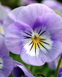 Viola Sorbet Lavender Ice. Common Names: Annual Violet, Pansy Closeup of single soft, clear lavender-blue pansy with white face, dark purple whiskers and a Royalty Free Stock Photography