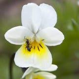 The VIOLA SORORIA ALBIFLORA. VIOLA PAPILIONACEA with ant Stock Images