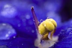 Viola sororia Blumendetail Lizenzfreie Stockbilder