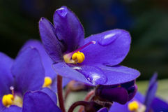 Viola sororia flower Royalty Free Stock Images
