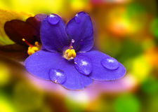 Viola sororia flower Stock Images
