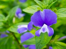 Viola sororia, known commonly as the common blue violet, is a short-stemmed herbaceous perennial plant. Stock Photos