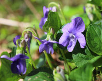 Viola sororia. The lovely flowers of Viola sororia, also known as the common blue violet, or wood violet, growing in a natural setting Royalty Free Stock Image