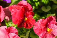 Viola  three flowers of red color spring sunny day. Full bloom, against a background of green foliage Royalty Free Stock Image