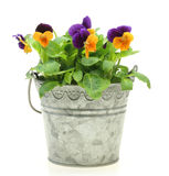 Viola in a tin can Royalty Free Stock Photos