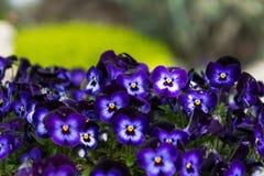 Viola tricolor Imagem de Stock