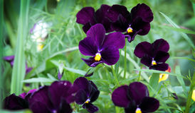 Viola Tricolor Royalty Free Stock Photo