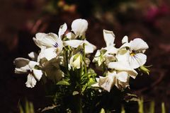 Viola tricolor Royalty Free Stock Photography