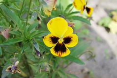 Viola tricolor Lizenzfreies Stockbild