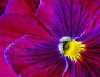Viola tricolor. Beautiful flower, closeup Royalty Free Stock Image