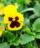 Viola tricolor Stock Photography