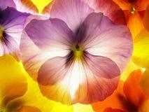 viola tricolor στοκ εικόνα