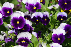 Viola tricolor Fotografie Stock Libere da Diritti