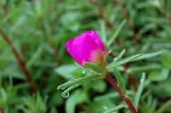 Viola tricolor Lizenzfreie Stockfotos