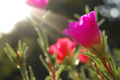 Viola tricolor Fotografia Stock Libera da Diritti