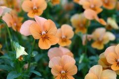 Viola tricolor Stockfotos