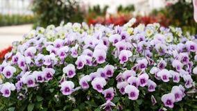 Viola tricolor Lizenzfreies Stockfoto